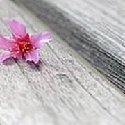 Cherry Blossom On Bench Poster