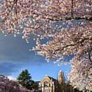 Cherry Blossoms At University Of Washington Poster