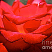 Cherry Red Rose Poster