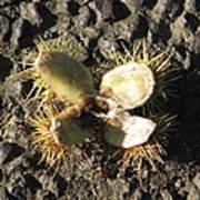 Chestnut Flower Poster
