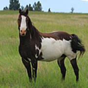 Chestnut Overo Paint Stallion Poster