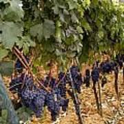 Chianti Grapes Poster