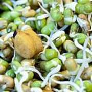 Chickpea And Other Lentils In The Form Of Healthy Eatable Sprouts Poster