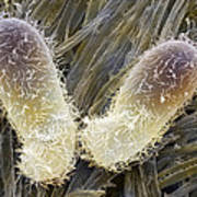 Chilodonella Ciliate Protozoan, Sem Poster by Power And Syred