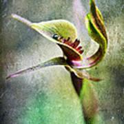 Chiloglottis Poster by David Lade