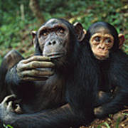Chimpanzee Adult Female With Orphan Baby Poster