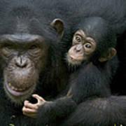 Chimpanzee Female Holding Infant Poster