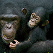 Chimpanzee Pan Troglodytes Adult Female Poster