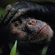Chimpanzees, As Reported By Jane Poster