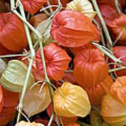Chinese Lantern Flowers Poster