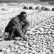 Chinese Man Drying Fish On The Shore - C 1902 Poster