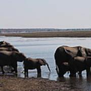 Chobe Elephants Poster