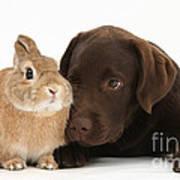 Chocolate Labrador Pup Poster