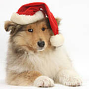 Christmas Collie Pup Poster