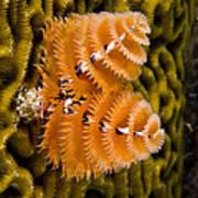 Christmas Tree Worm Spirobranchus Poster