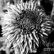 Chrysanthemum In Monochrome Poster