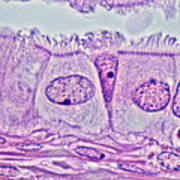 Ciliated Epithelium, Phase Microscopy Poster