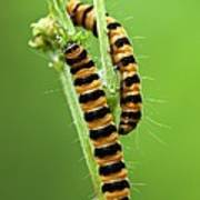 Cinnabar Moth Caterpillars Poster