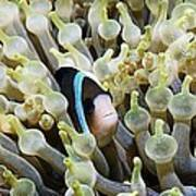 Clarke's Anemonefish Poster by Georgette Douwma