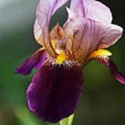 Classic Purple Two-tone Dutch Iris Poster