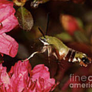 Clear Wing Hummingbird Moth 1 Poster