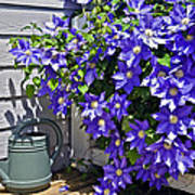 Clematis And Watering Can Poster