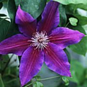 Clematis 'barbara Jackman' Flower Poster
