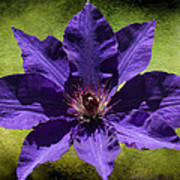 Clematis On Stone Poster