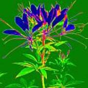 Cleome Gone Abstract Poster