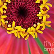 Close Up Dahlia Poster