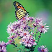 Close-up Of A Monarch Butterfly (danaus Plexippus ) On A Perennial Aster Poster