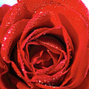 Close-up Of A Red Rose Poster