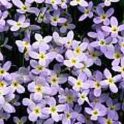 Close-up Of Bluet Flowers Houstonia Poster