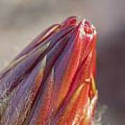 Close Up On Cactus Flower Bud Poster