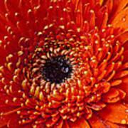 Close Up Orange Mum Poster