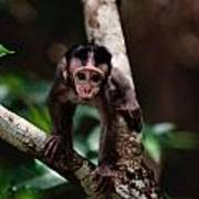 Close View Of A Baby Macaque Poster