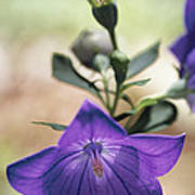 Close View Of A Balloon Flower In Bloom Poster