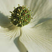 Close View Of A Dogwood Blossom Poster