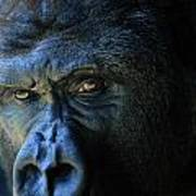 Close View Of A Gorilla Gorilla Gorilla Poster