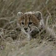 Close View Of A Juvenile Cheetah Poster