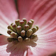 Close View Of A Pink Dogwood Blossom Poster