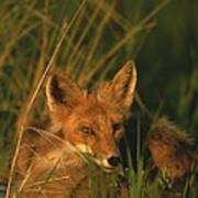 Close View Of A Red Fox At Rest Poster
