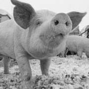 Close View Of A Young Pig In A Snowy Poster