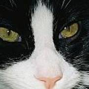 Close View Of Black And White Tabby Cat Poster