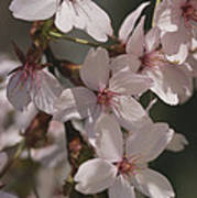 Close View Of Cherry Blossoms Poster