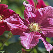 Close View Of Clematis Flowers Poster