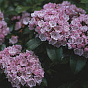 Close View Of Flowering Mountain Laurel Poster