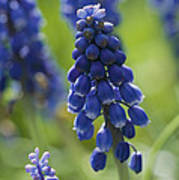 Close View Of Grape Hyacinth Flowers Poster