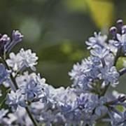 Close View Of Hyacinth Lilacs Syringa Poster