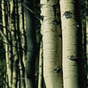 Close View Of Several Aspen Tree Trunks Poster